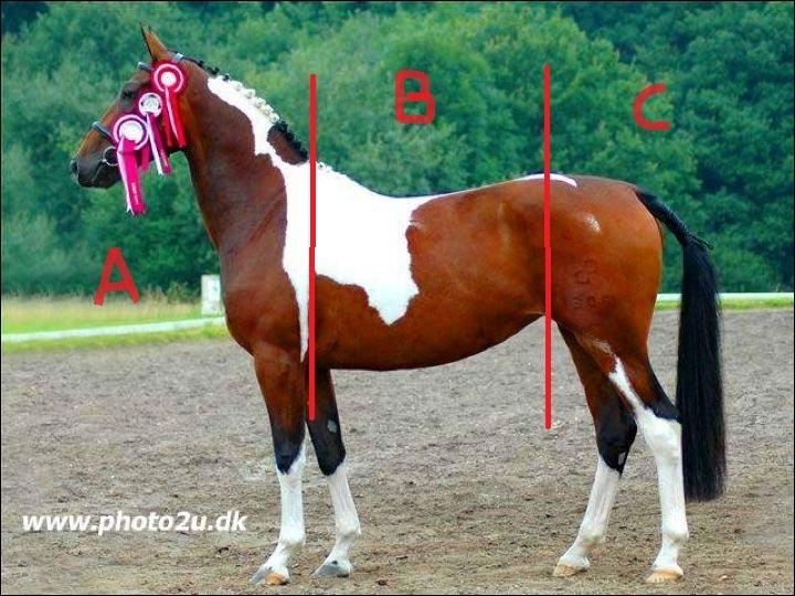 Comment s'appelle la partie du milieu, dans le corps du cheval ? (lettre B sur l'image)