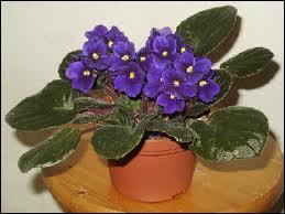 Quizz autour de la violette quiz fleurs for Violette africane