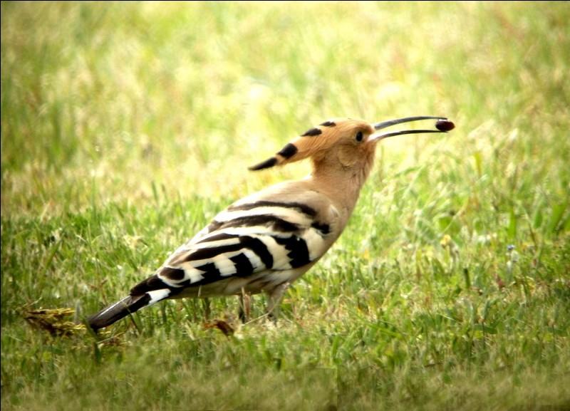 Nous parlons de la huppe. Bec fin et plumage orangé. Ses plumes de la queue et des ailes sont fasciées : rayées de blanc et noir.