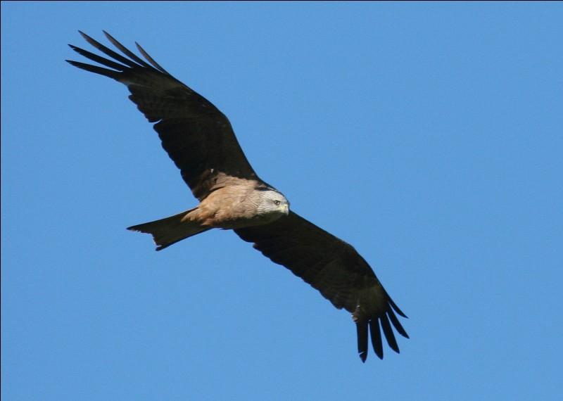 """""""Hiu-huu-huu-hui"""", il ne compte pas au-delà de huit ! Oiseau quelquefois qualifié de noir. Son habitat va des vallées de montagnes aux terrains bas."""