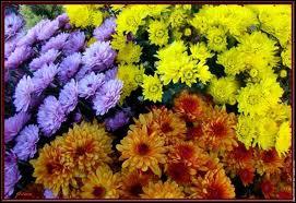Cette très jolie fleur adorée des japonais est en nos pays dévolue à la tristesse qui accompagne cette fête (parce qu'on la confond avec une autre généralement), celle ?