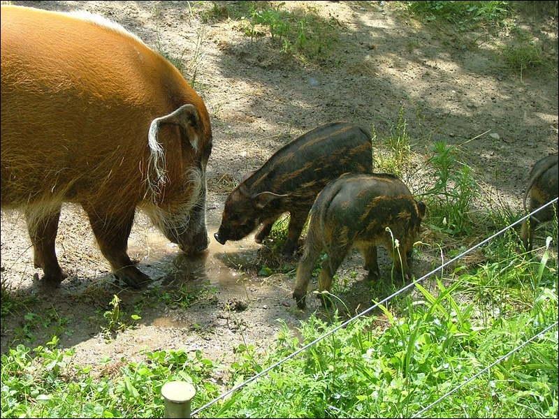 Africain, c'est un suidé, cousin du cochon !