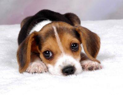 Les races de chien