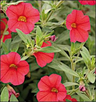 Plantées avec vos plants de pommes de terre, ces fleurs éloigneront les doryphores :