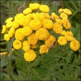 Quelques pieds de cette plante dans votre potager flatteront coccinelles, chrysopes ou guêpes prédatrices :