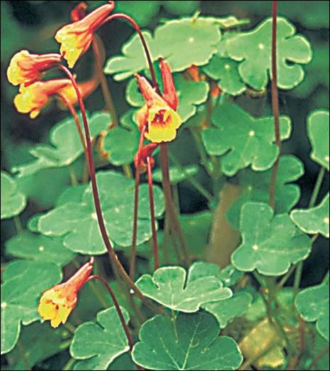 Cette fleur plantée à proximité de vos légumes, limitera les dégâts commis par les pucerons :