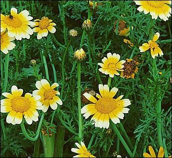 Ses fleurs jeunes se consomment en salades et peuvent aromatiser certains mets :