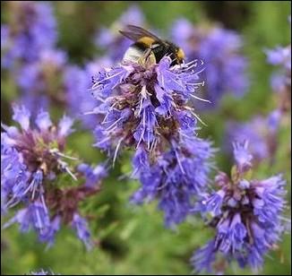 Vivace, cette plante méditerranéenne à l'odeur agréable attirera toutes les abeilles et butineurs de votre secteur :
