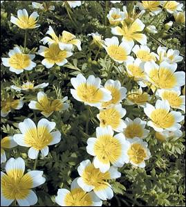 Appelée par nos voisins anglais  oeuf sur le plat , cette fleur attirera papillons et oiseaux utiles pour la pollinisation :