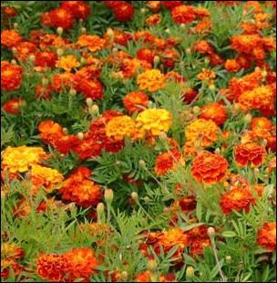Appelée également   tagète   cette fleur intercalée entre vos pieds de tomates diminueront les nématodes du sol (vers) :