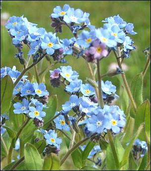 Quelques pieds de cette fleur auprès de vos framboisiers feront fuir le ver de la framboise :