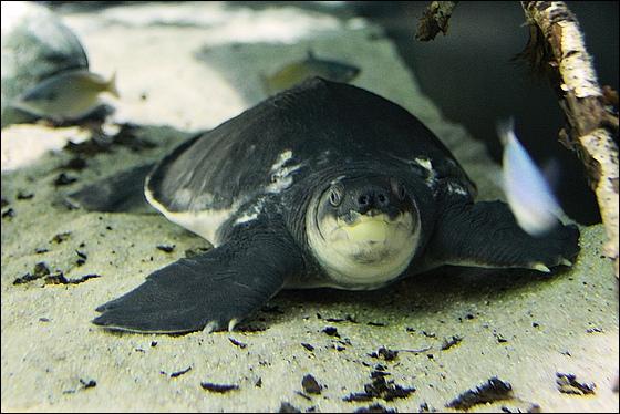 A quoi sert le nez de la tortue  nez de cochon  ?