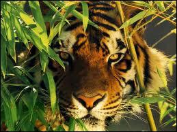Dans la tradition du cirque, dans quelle langue parlent les dompteurs de tigres à leurs animaux ?
