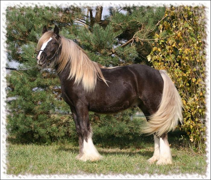 Ce cheval est de couleur chocolat aussi appelée ... .