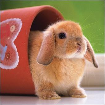 Si le lapin a les yeux écarquillés et les oreilles rabattues sur la tête, cela veut dire qu'il...