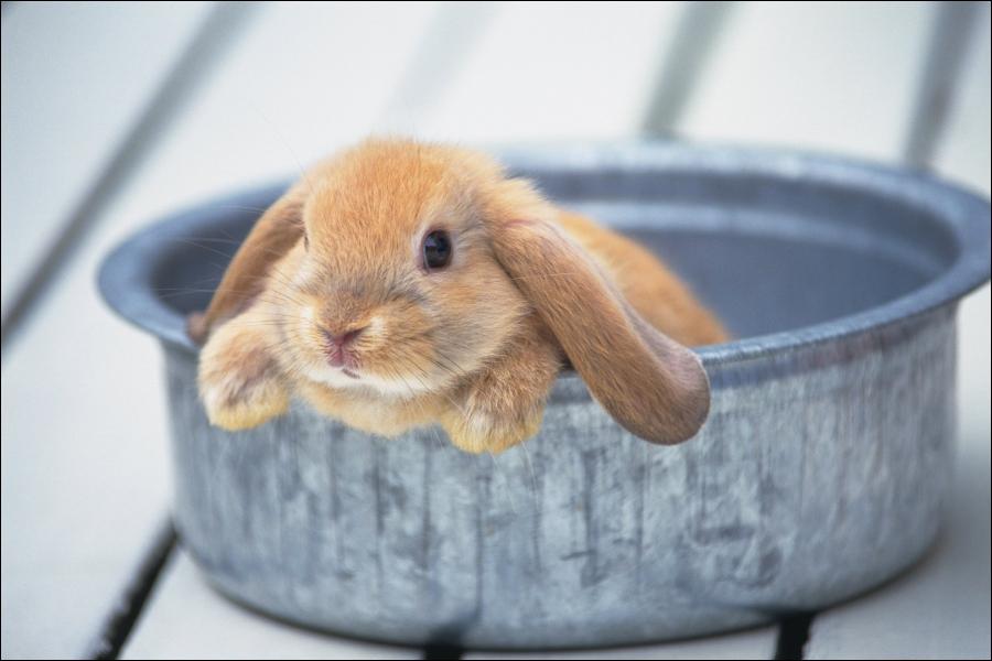 Quand le lapin donne des coups de museaux à son maître, c'est qu'il...