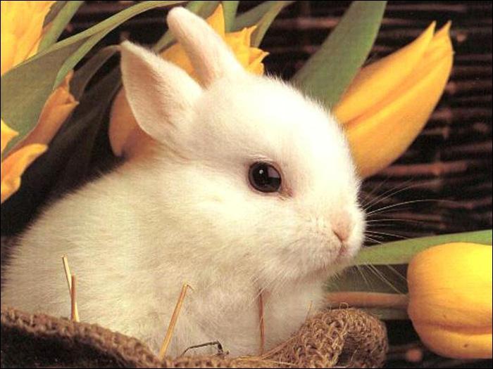 La nourriture de base des lapins est la carotte.