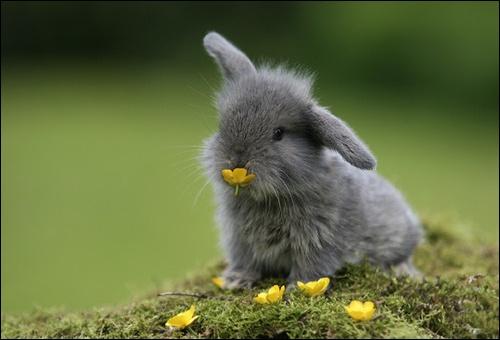 Le lapin est heureux s'il...