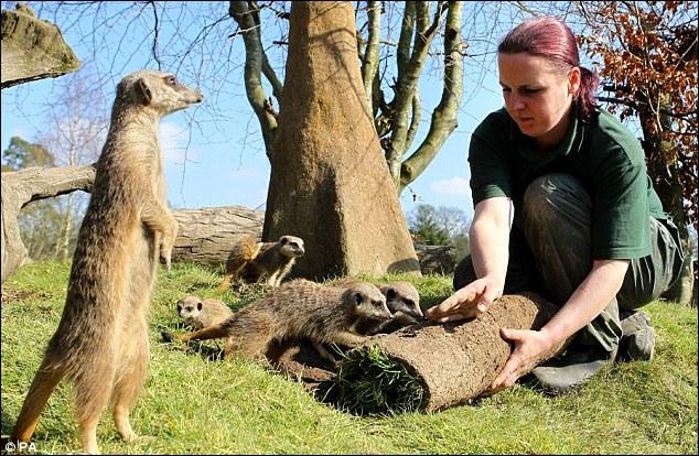Les suricates sont des animaux sauvages, ils ne s'approchent pas des humains !
