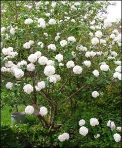 Arbuste décoratif appelé également   Boule de neige   ou obier ... .
