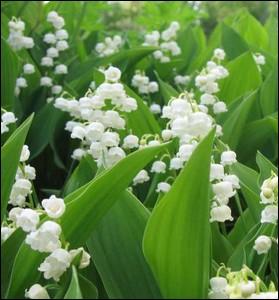 Plante herbacée à rhizome très odorante ... .