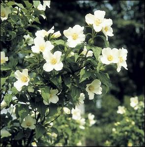 Les fleurs de cet arbuste sont très odorantes ... . .