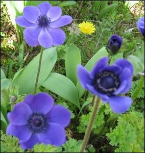 Fleurs à tubercules appelées également  anémones des fleuristes  ... .