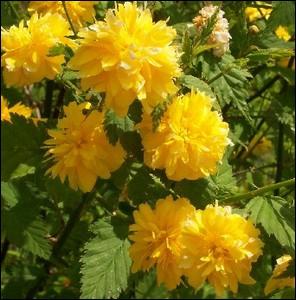 Le nom exact de cet arbuste à petites boules jaunes c'est le kerria ... .
