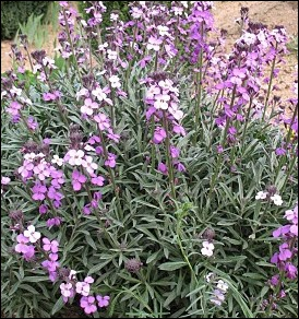 Une recordman de durée de floraison au printemps ... .