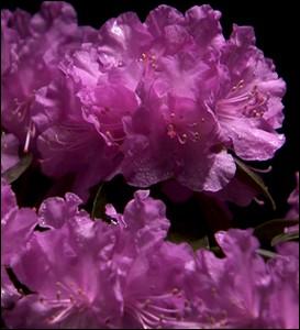A l'époque médiévale, cette plante était appelée   Rosage   ... .