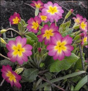 Une des première plante à fleurir au printemps ... .