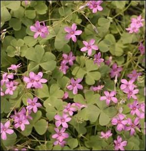 Plante tapissante à rhizomes, fréquente dans nos jardin et appelée plus couramment   Trèfle rose   ... .
