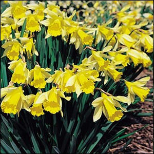 Fleur à bulbe, symbole du Pays de Galles, celle-ci est botanique ... .