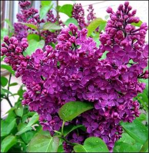 Cet arbuste aux fleurs odorantes offre une multitude de coloris . C'est l'arbre du printemps par excellence ... .