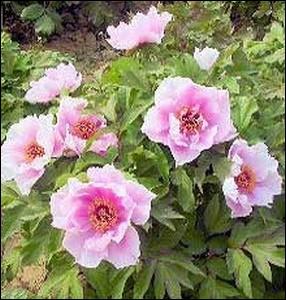 Plante arbustive à la floraison sublime et abondante... .