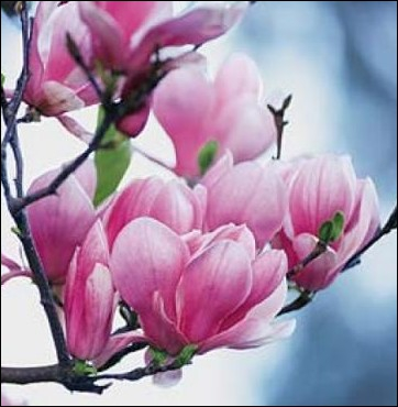 A quel arbre appartiennent ces fleurs ?