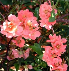 Ces fleurs sont d'un arbre fruitier ... .