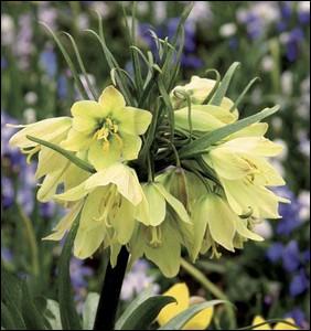 Plante herbacée originaire des Balkans ... .