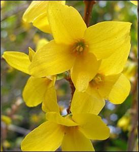 Arbuste décoratif à floraison printanière ... .
