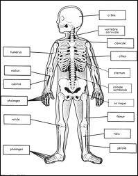 Dans notre squelette, on trouve deux  os scaphoïdes , où se trouvent-ils ? Quelle est l'intruse parmi les parties du corps proposées ci-après ?