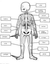 Anatomie du corps humain (15)