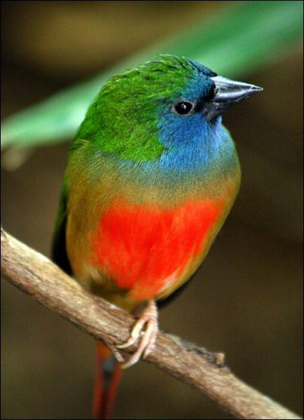 Quizz les oiseaux de l 39 esp ce des 39 diamants 39 quiz for Oiseau par la couleur