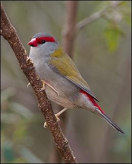 Quizz les oiseaux de l 39 esp ce des 39 diamants 39 quiz for Oiseau queue rouge