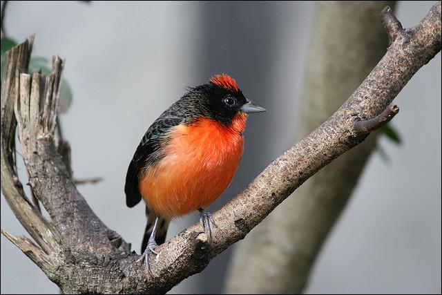 Quizz les oiseaux de l 39 esp ce des 39 diamants 39 quiz for Petit oiseau avec houpette