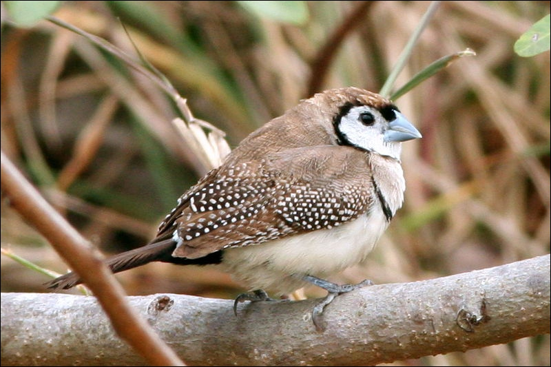 Quizz les oiseaux de l 39 esp ce des 39 diamants 39 quiz for Petit oiseau gris