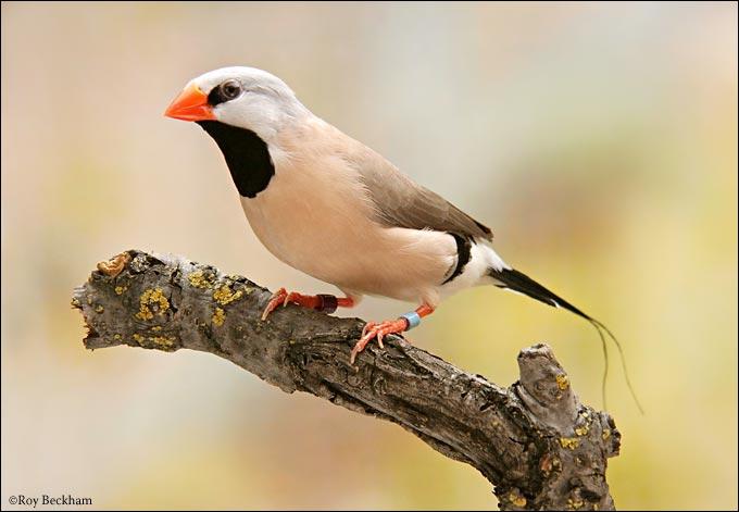 Quizz les oiseaux de l 39 esp ce des 39 diamants 39 quiz for Oiseau longue queue ventre jaune