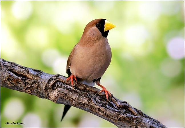 Quizz les oiseaux de l 39 esp ce des 39 diamants 39 quiz for Oiseau noir bec jaune