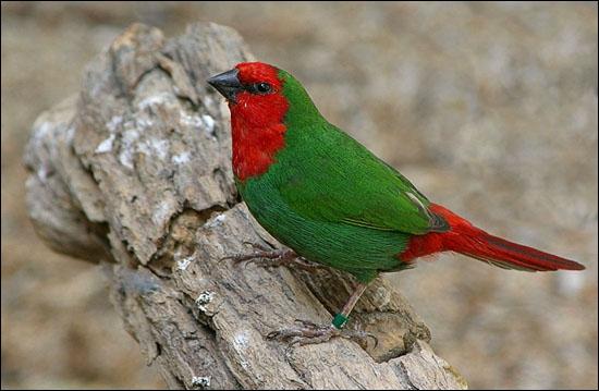 Quizz les oiseaux de l 39 esp ce des 39 diamants 39 quiz for Oiseau vert et rouge