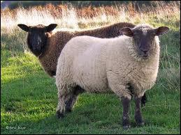 Comment dit-on mouton en anglais ?