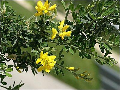Genêt bâtard ou petit genêt, c' est un arbrisseau vivace, originaire d'Asie, où il est appelé autrement :